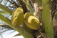 Желтые кокосы шелухи на ладони кокоса Стоковое Изображение RF