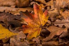 Желтые/красные листья осени Стоковое Изображение RF
