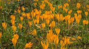 Желтые крокусы Стоковое Изображение RF