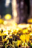 Желтые крокусы Стоковые Фотографии RF
