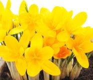 Желтые крокусы Стоковая Фотография