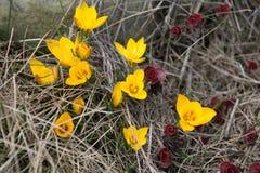 Желтые крокусы Стоковое Фото