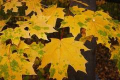 Желтые кленовые листы в лесе Стоковые Фотографии RF