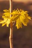 Желтые кленовые листы на ветви клен листьев осени Стоковые Изображения RF