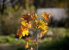 Желтые кленовые листы Стоковое Фото