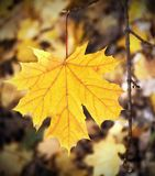 Желтые кленовые листы Стоковые Фотографии RF