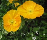 Желтые маки Стоковая Фотография