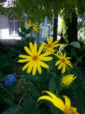 Желтые мамы сада маргаритки маргариток Стоковое Изображение RF
