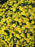 Желтые мамы для предпосылки Стоковая Фотография RF