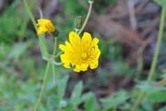 Желтые малые красивые цветки в лесе Стоковые Фото