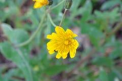 Желтые малые красивые цветки в лесе Стоковое Фото