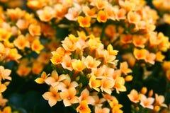 Малые померанцовые, желтые цветки   Стоковые Изображения RF