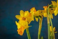 Желтые миниатюрные daffodils Стоковое Фото