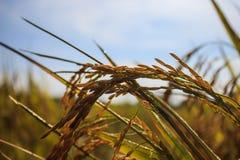 Желтые неочищенные рисы стоковое фото