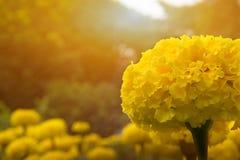 Желтые ноготки цветок и свет солнца Стоковое Изображение