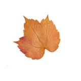 Желтые оранжевые изолированные лист Стоковое Фото