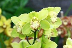 Желтые орхидеи мяты Стоковое фото RF