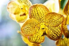 Желтые орхидеи Стоковые Фотографии RF