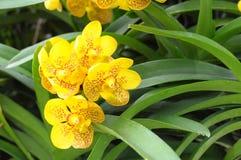 Желтые орхидеи Стоковые Изображения
