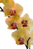 Желтые орхидеи Стоковая Фотография