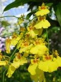 Желтые орхидеи /Tropical орхидей стоковая фотография rf
