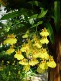 Желтые орхидеи /Tropical орхидей стоковое фото