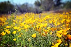 Желтые одичалые маки Стоковая Фотография RF