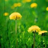 Желтые одуванчики весной Стоковое Изображение