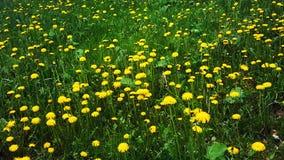 Желтые одуванчики в поле стоковое изображение rf