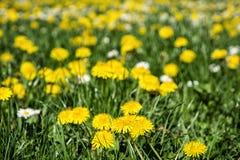 Желтые одуванчики и маргаритки в луге, сезонное nat вол-глаза Стоковые Фото