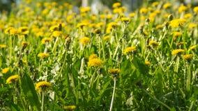 Желтые одуванчики на солнечный весенний день Стоковые Изображения