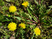 Желтые одуванчики растут в зеленой траве Светить на солнце Стоковая Фотография RF