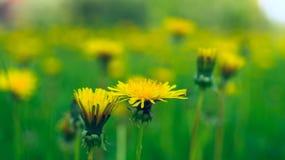 Желтые одуванчики Стоковая Фотография