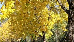 Желтые падая листья деревьев бука в сезоне осени акции видеоматериалы