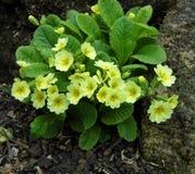 Желтые первоцветы - Primula vulgaris Стоковые Изображения RF