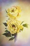 Желтые пионы бесплатная иллюстрация