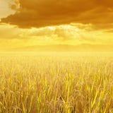 Желтые поле риса и гора захода солнца для предпосылки в Таиланде Стоковая Фотография