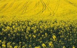 Желтые поля Стоковые Изображения