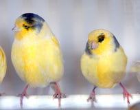 Желтые птицы Стоковые Изображения RF