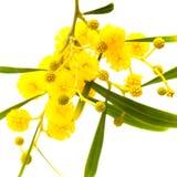 Желтые пушистые цветки на акации Стоковые Изображения RF