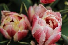 Желтые розовые и розовые белые тюльпаны стоковое фото rf
