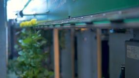 Желтые розы будучи сортированным на промышленном предприятии цветка акции видеоматериалы