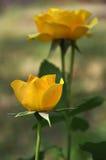 Желтые розы зацвели Стоковая Фотография
