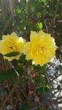 Желтые розы Стоковое Изображение