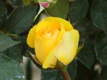 Желтые розы Стоковые Изображения