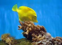 Желтые рыбы аквариума Стоковое Изображение