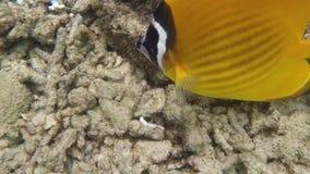 Желтые рыбы бабочки плавая под водой акции видеоматериалы