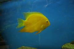 Желтые рыбы Стоковая Фотография