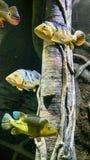 Желтые рыбы Стоковая Фотография RF