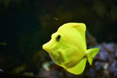 Желтые рыбы стоковое фото rf